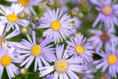 Aster amellus Ialian Aster