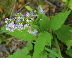 Aster cordifolius Common Blue Wood Aster