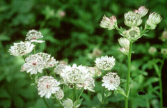 Astrantia major Great Masterwort