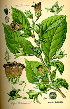 Atropa bella-donna Deadly Nightshade, Belladonna