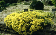 Aurinia saxatilis Golden Alyssum, 	Basket of gold