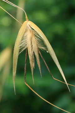 avena sterilis sterile oats animated oat pfaf plant database