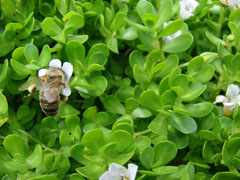 Bacopa monnieri Herb of Grace, Brahmi, Smooth Water Hyssop