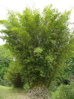 Bambusa multiplex Hedge Bamboo, Chinese Goddess Bamboo