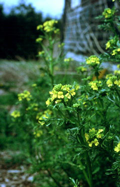 Barbarea verna Land Cress, Early yellowrocket
