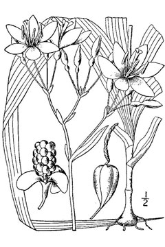 Belamcanda chinensis Leopard Lily, Blackberry lily, Leopard Flower