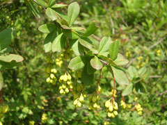 Berberis aristata Chitra, Indian Barberry or Tree Turmeric