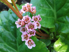 Bergenia crassifolia Siberian Tea