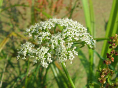 Berula erecta Cutleaf Waterparsnip