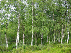 Betula pendula Silver Birch, European white birch, Common Birch, Warty Birch, European White  Birch