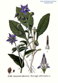 Borago officinalis Borage, Common borage,Cool-tankard, Tailwort