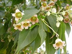 Kurrajong Tree Characteristics