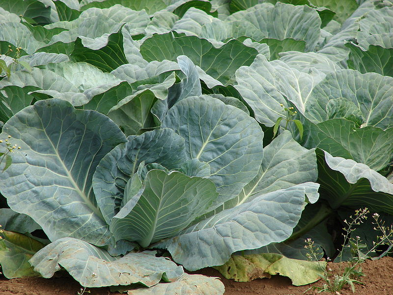 Brassica oleracea capitata Cabbage,Ornamental Cabbage, Red Cabbage, Savoy  Cabbage