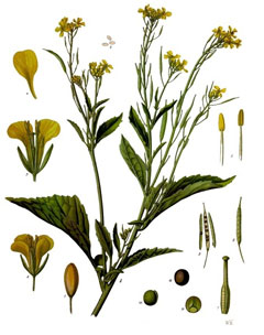 Brassica juncea Brown Mustard