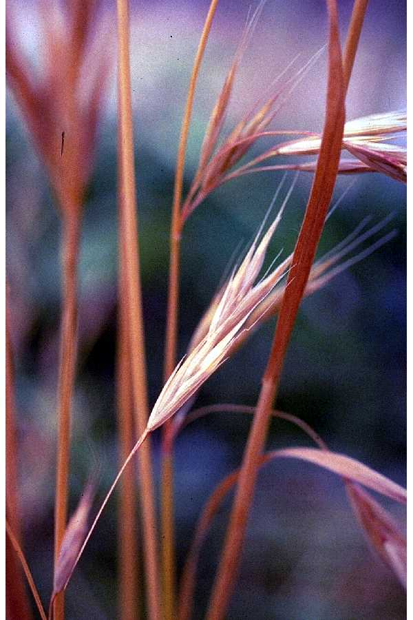 Bromus carinatus Californian Brome