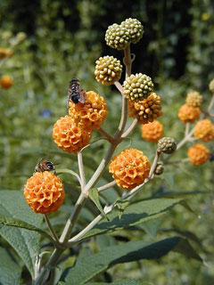 Buddleia globosa Orange Ball Tree