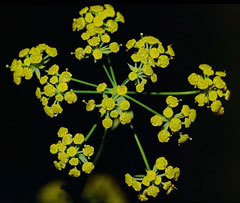 Bupleurum falcatum Thorow-Wax