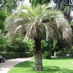 Butia capitata Jelly Palm, South american jelly palm