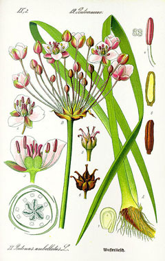 Butomus umbellatus Flowering Rush