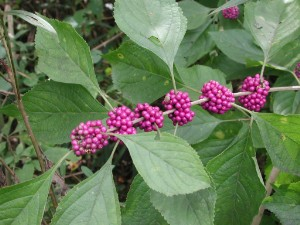 Callicarpa americana American Beautyberry, Beautyberry, French  Mulberry, American  Beautyberry