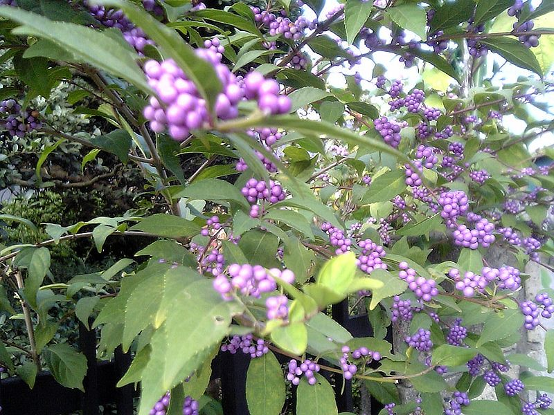 Callicarpa japonica Beautyberry, Japanese callicarpa, Japanese Beautyberry