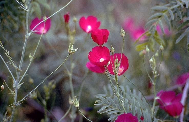 Callirhoe Leiocarpa Tall Poppy Mallow Pfaf Plant Database