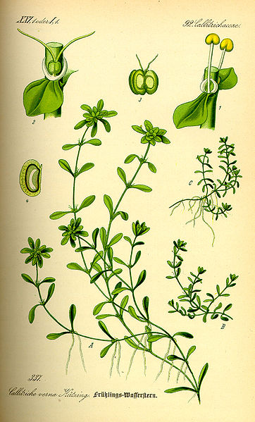 Callitriche palustris Common Waterwort, Vernal water-starwort