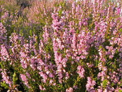 Calluna vulgaris Heather, Scotch Heather