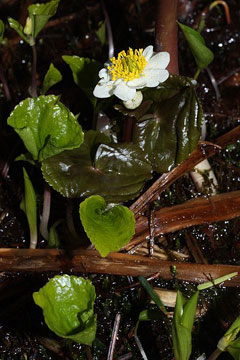 Caltha leptosepala howellii