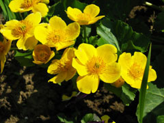 Caltha palustris Marsh Marigold, Yellow marsh marigold
