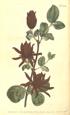 Calycanthus floridus Carolina Allspice,  Eastern sweetshrub, Strawberry Bush, Sweetshrub, Carolina Allspice
