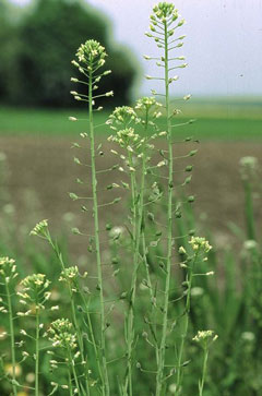Camelina sativa Gold Of Pleasure