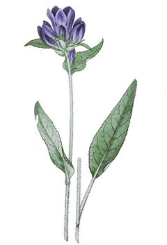 Campanula glomerata Clustered Bellflower, Dane