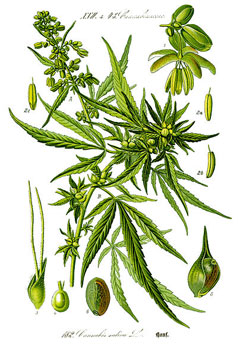 Cannabis sativa Hemp, Marijuana