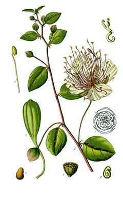Capparis spinosa Caper,Common Caper, Caper Bush