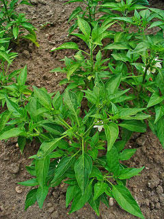 Capsicum frutescens Tabasco Pepper,  Cayenne pepper
