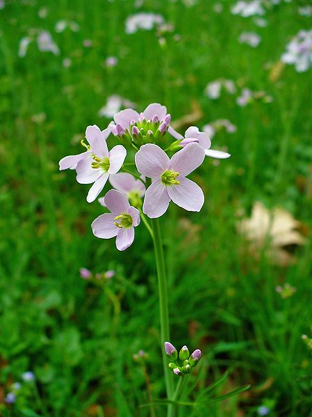 cardamine pratensis cuckoo flower pfaf plant database. Black Bedroom Furniture Sets. Home Design Ideas