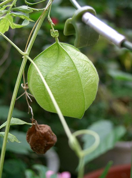Cardiospermum halicacabum Heart Seed, Balloon vine