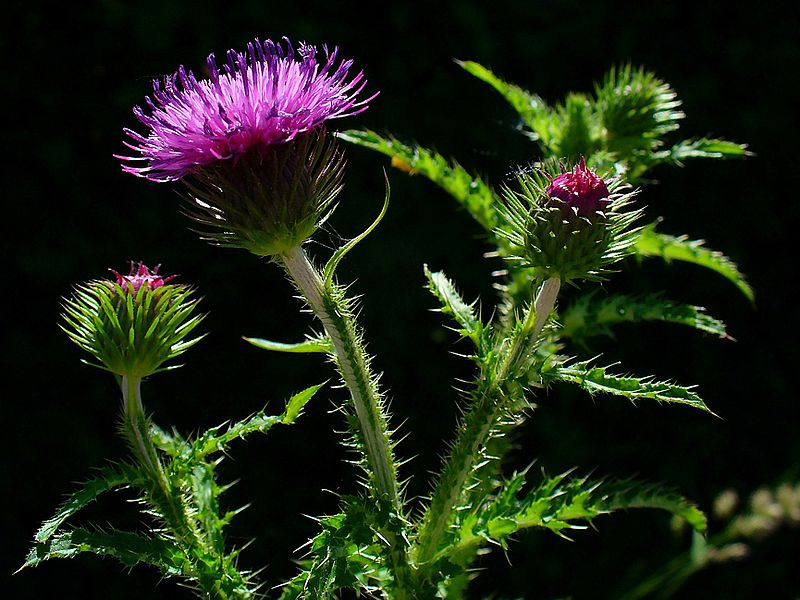 Carduus crispus Welted Thistle, Curly plumeless thistle