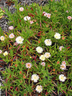 Carpobrotus edulis Hottentot Fig,
