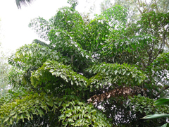 Caryota urens Jaggary Palm, Toddy Palm, Fishtail Wine Palm
