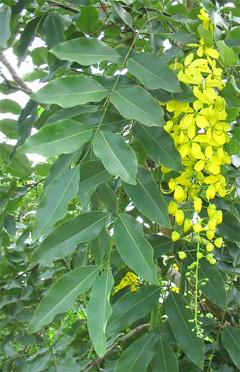 Cassia fistula Golden Shower, Purging Cassia, Golden Chain