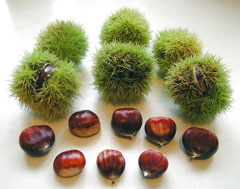 Castanea sativa Sweet Chestnut, European chestnut