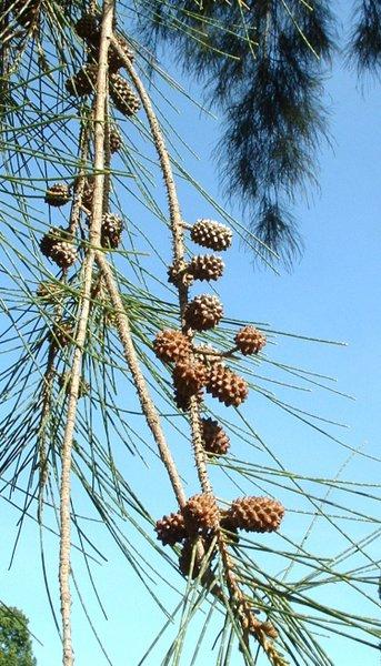 Casuarina Cunninghamiana River She Oak Pfaf Plant Database