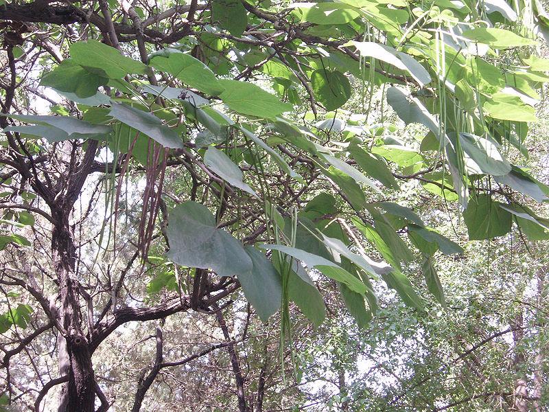 Catalpa Ovata Chinese Catalpa Pfaf Plant Database