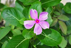Catharanthus roseus Madagascar Periwinkle, Jasmine, Cayenne ...