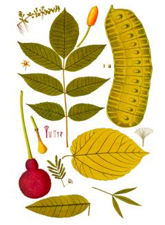 Cecropia peltata Trumpet Tree, Snakewood, Congo pump, Wild pawpaw