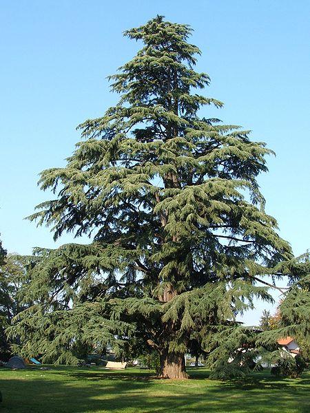 Cedrus deodara deodar deodar cedar pfaf plant database for Piante classificazioni inferiori successive