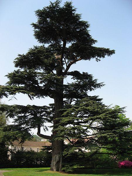 Cedrus Libani Cedar Of Lebanon Pfaf Plant Database