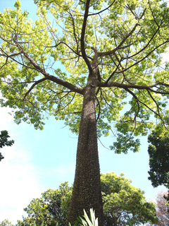 Ceiba pentandra Kapok Tree, Cotton Tree, Suma